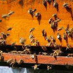 Nowe odkrycie: pszczoły mądrzejsze niż sądzono?   Portal pszczelarski pszczoly.eu