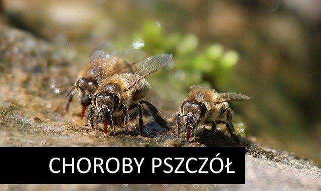 Nosemoza pszczół (choroba sporowcowa lub zarodnikowcowa) – czym jest i sposoby zwalczania