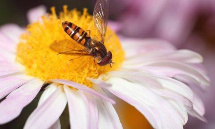 Pszczoły wrócą do Legnicy | Pszczoly.eu