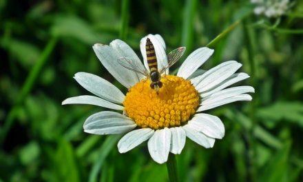 Muchówki mogą przenosić choroby pszczół | Pszczoly.eu