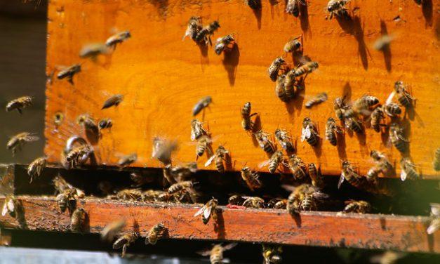 Nowe odkrycie: pszczoły mądrzejsze niż sądzono? | Portal pszczelarski pszczoly.eu