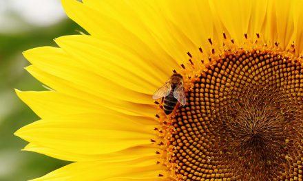 8 sierpnia obchodzimy Wielki Dzień Pszczół