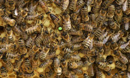 Przebadają 2 tysiące matek pszczelich pod kątem ich odporności na warrozę | Pszczoly.eu