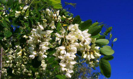 Urząd Marszałkowski w Poznaniu dofinansuje zakup sadzonek drzew miododajnych