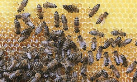 Już wkrótce pojawi się nowy probiotyk dla pszczół. Jego autorka już zbiera laury | Pszczoly.eu