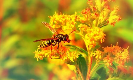 Osy nie takie złe! Czy należy zmienić społeczne postrzeganie tych owadów? | Pszczoly.eu