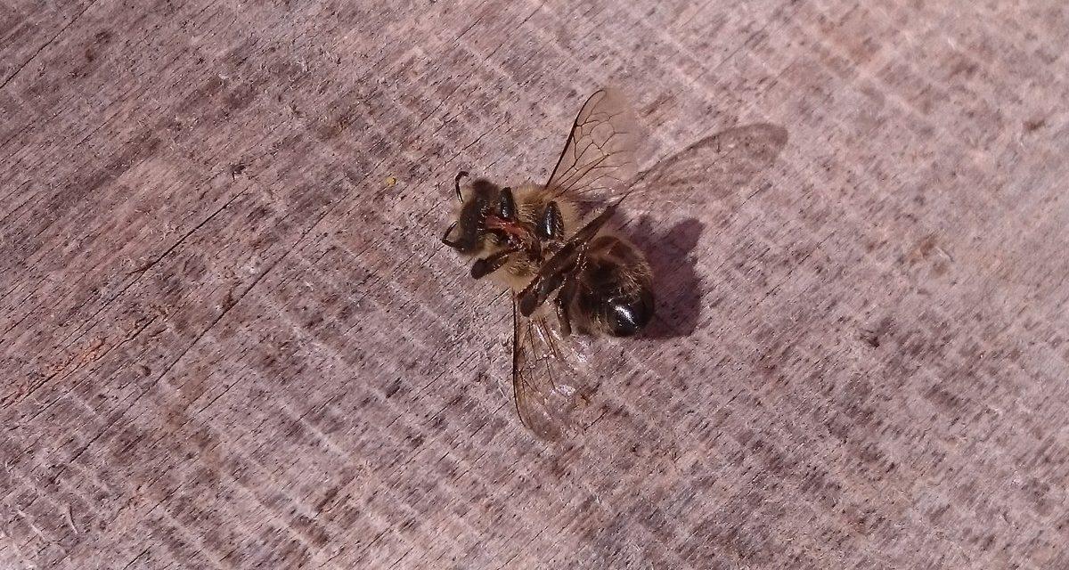 Wytrucie pszczół w pasiece Rafała Szeli: Znamy wyniki badań!