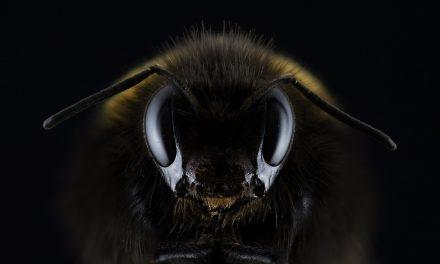 Genetycznie modyfikowana pszczoła. Trwają prace nad pszczołą GMO | Pszczoly.eu