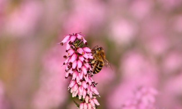 Miód wrzosowy – właściwości i charakterystyka miodu wrzosowego | Pszczoly.eu
