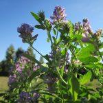 Rodzaj pożytku ma znaczenie dla zdrowia pszczół | Pszczoly.eu
