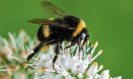 Trzmiele mogą się zarazić wirusami przenoszonymi przez pszczoły miodne   Pszczoly.eu