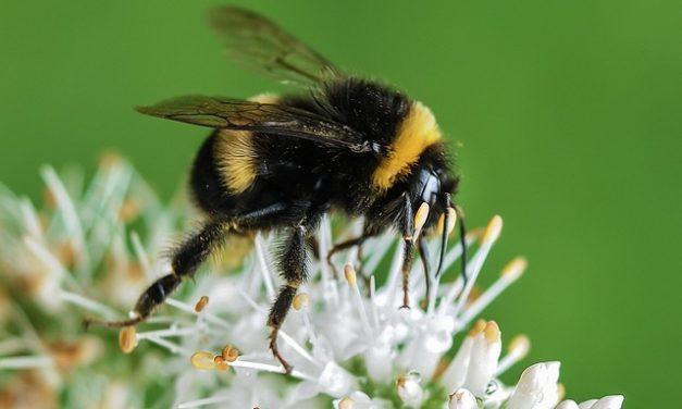 Trzmiele mogą się zarazić wirusami przenoszonymi przez pszczoły miodne | Pszczoly.eu