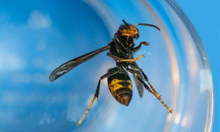 Szerszenie azjatyckie są już za naszą zachodnią granicą | Pszczoly.eu